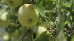 Close up shot of organic green apples. Stock Footage
