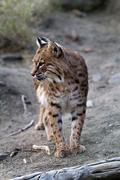 bobcat - stock photo