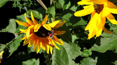 Butterfly on sunflower wide - stock footage