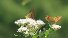 Indian Fritillary butterflies Stock Footage