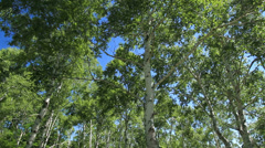 Birch forest Stock Footage