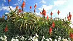 Aloe flowers and sky Stock Footage