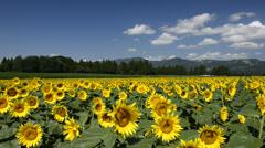 Sunflower Field, Niigata, Japan Stock Footage