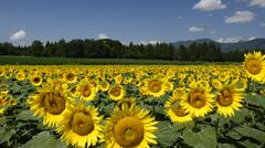 Sunflower Field, Niigata, Japan - stock footage