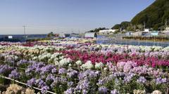 Chikura Flower Gardens, Chiba, Japan Stock Footage
