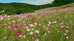 Cosmos Field, Uchiyama Ranch, Saku, Nagano, Japan Stock Footage
