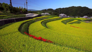 Stock Video Footage of Amaryllis and Rice Terraces, Asuka, Nara, Japan