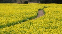 Rape field, Aichi Stock Footage