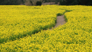 Stock Video Footage of Rape field, Aichi