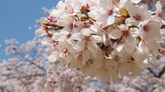 Cherry blossoms, Aichi Stock Footage