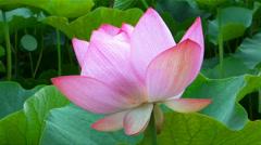 Oga Lotus Arkistovideo