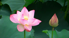 Oga lotus Stock Footage