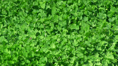 Clover field - stock footage