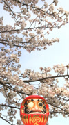 Cherry blossoms and Daruma statue Stock Footage