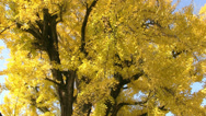 Stock Video Footage of Ginkgo Biloba