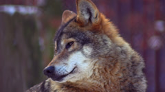 Wolf portrait in the forest Stock Footage