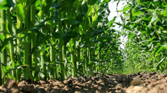 Maize field low angle view Stock Footage