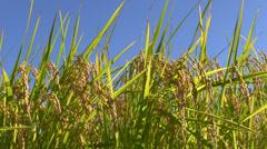 Rice ears Stock Footage