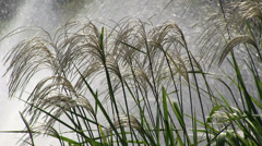 Pampas grass and fountain Stock Footage