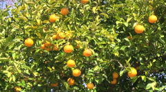 Citrus fruit Stock Footage