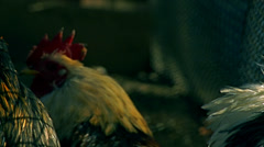 Rooster in farm - stock footage