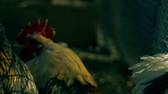 Stock Video Footage of Rooster in farm