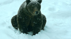 The brown bear is walking in snow at nature winter - stock footage