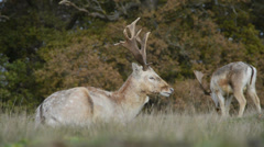 Stags grazing on grassland Stock Footage