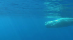 Sperm whale, Physeter macrocephalus - underwater shot - stock footage