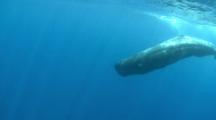 Sperm whale go to the deep - underwater shot Stock Footage