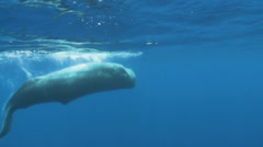 Juvenal sperm whale - underwater shot Stock Footage
