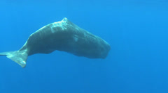 juvenal sperm whale floating and rotating - underwater shot - stock footage
