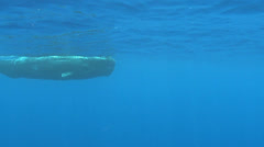 Sperm whale, Physeter macrocephalus - underwater shot Stock Footage