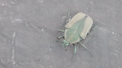 Japanese beetle bobbing its head Stock Footage