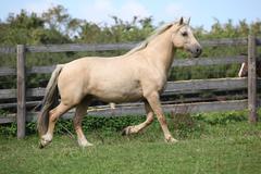 beautiful palomino mare wunning on pasturage - stock photo