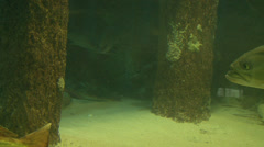 Food fish in their natural habitat Stock Footage