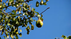 Pear on a tree Stock Footage