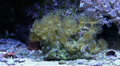 Small green anemone in coral reef aquarium Footage
