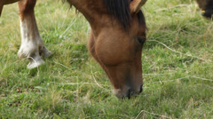 Horse grazing close-up. - stock footage