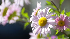 Pink marguerite daisy (paris daisy) blooming Stock Footage