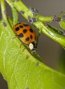 Ladybug and aphids Stock Photos