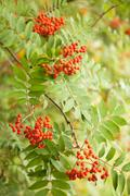 Rowan berries hanging from tree Stock Photos
