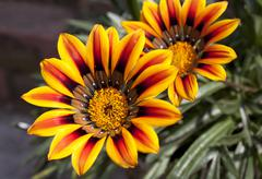 close up of two vibrant orange and yellow daisy flowers - stock photo