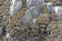 algae and rock formation - stock photo