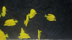 Group of yellow Tropical fish in a aquarium, Closeup Stock Footage