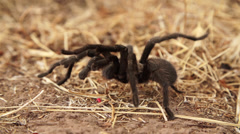 Tarantula In Super Slow Motion 2 - stock footage