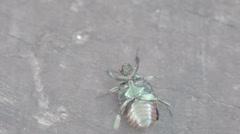 Upside down japanese beetle Stock Footage