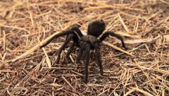 Tarantula In Super Slow Motion 4 - stock footage