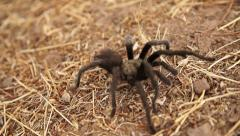 Tarantula In Super Slow Motion 5 - stock footage