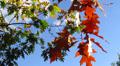 Autumn leaves on a tree HD Footage